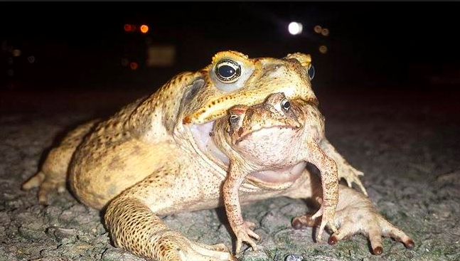 an overview of the australian cane toad in animal kingdom