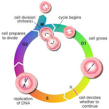 G1 (Gap 1) PhaseGrowth & Synthesis of new organelle >S... - ThingLink