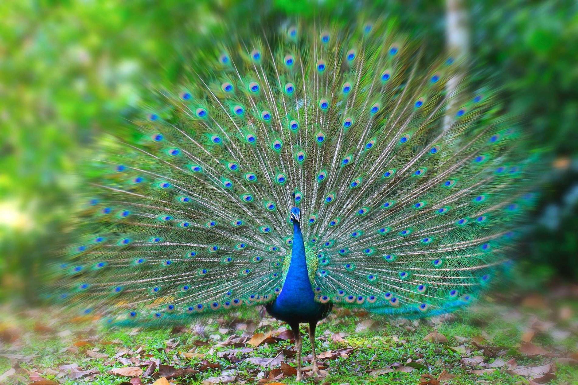 peacock thinglink