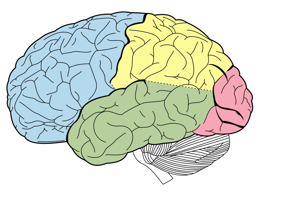 Lateral View Of The Brain Diagram - Ekerekizul