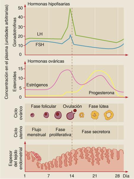 Ciclo fase endometrial menstrual del