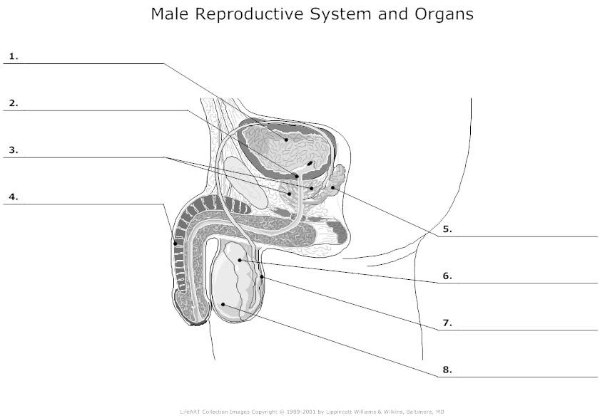 penis sex organ