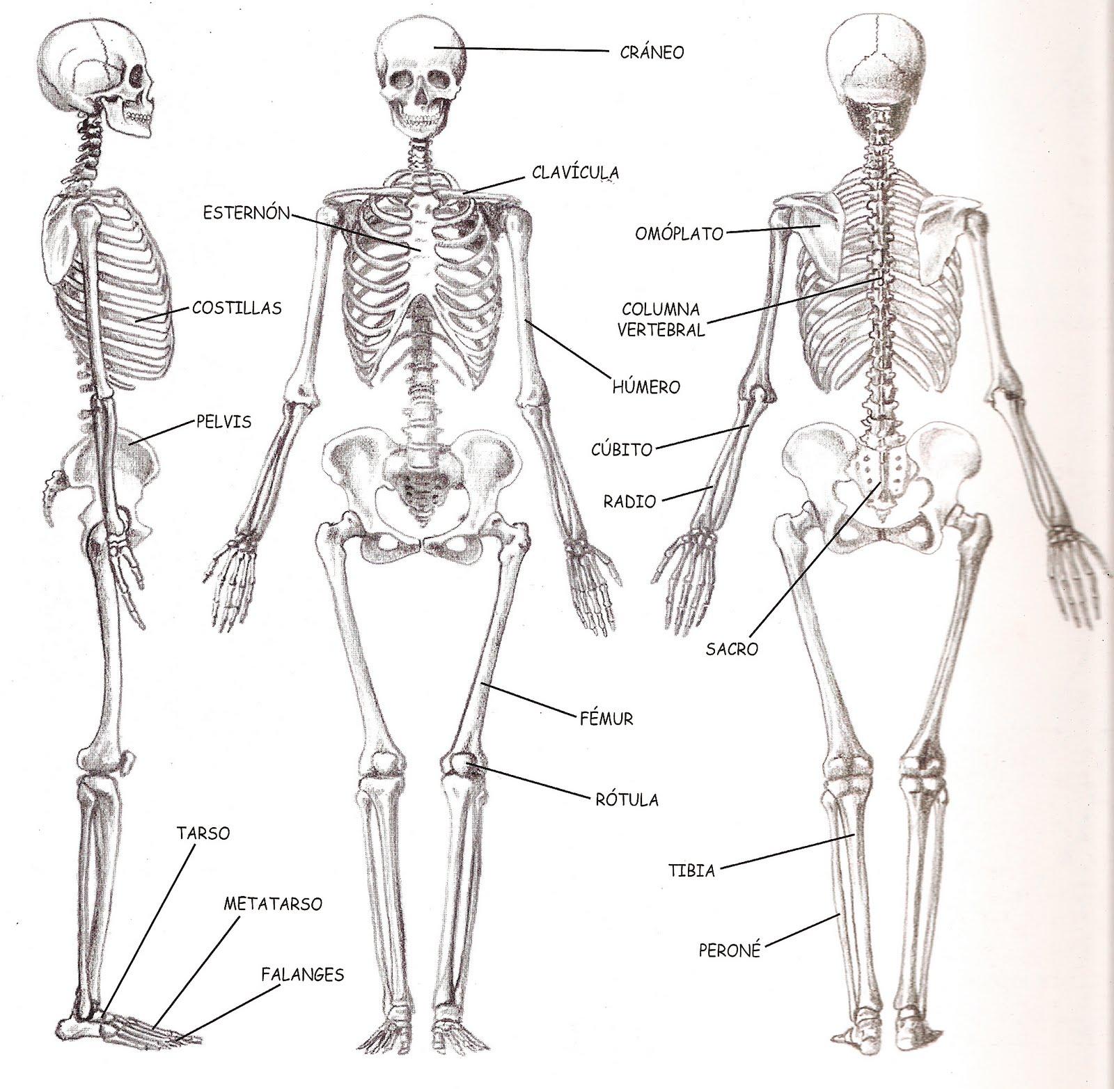 Contemporáneo La Anatomía Humana De Dibujos Animados Composición ...