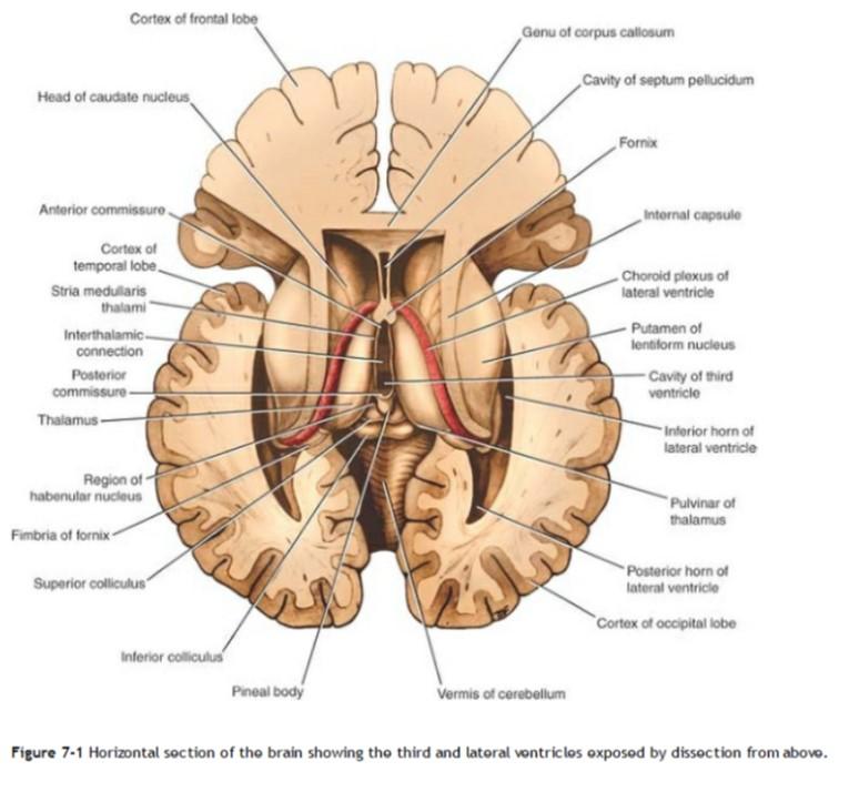 Corte transversal encéfalo - ThingLink