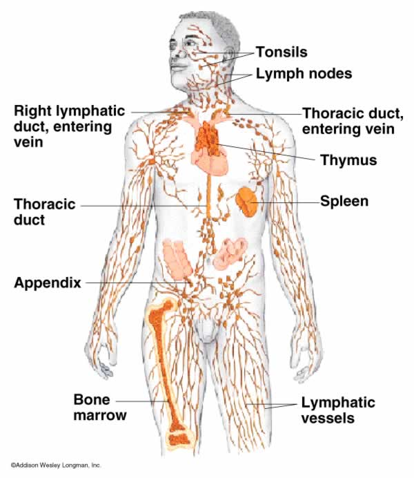 Lymphatic System Stone Wachs Thinglink