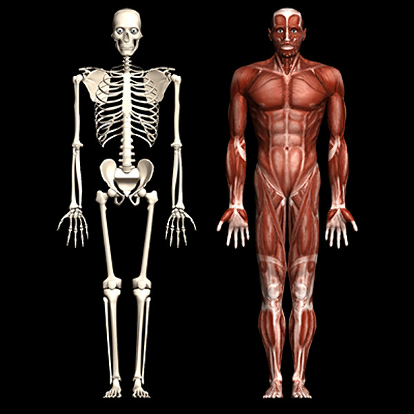 the human skeleton and muscles. - thinglink, Skeleton