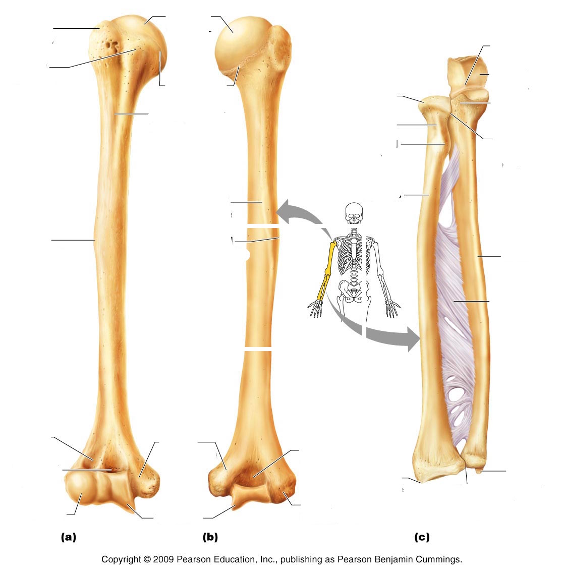 Ulna And Radius Bone