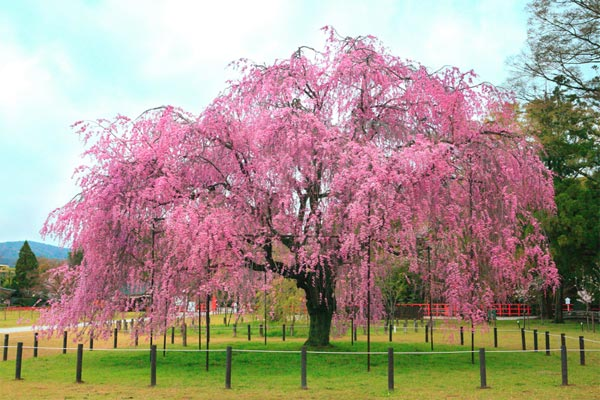 This Is A Anese Cherry Blossom Tree In An Thinglink