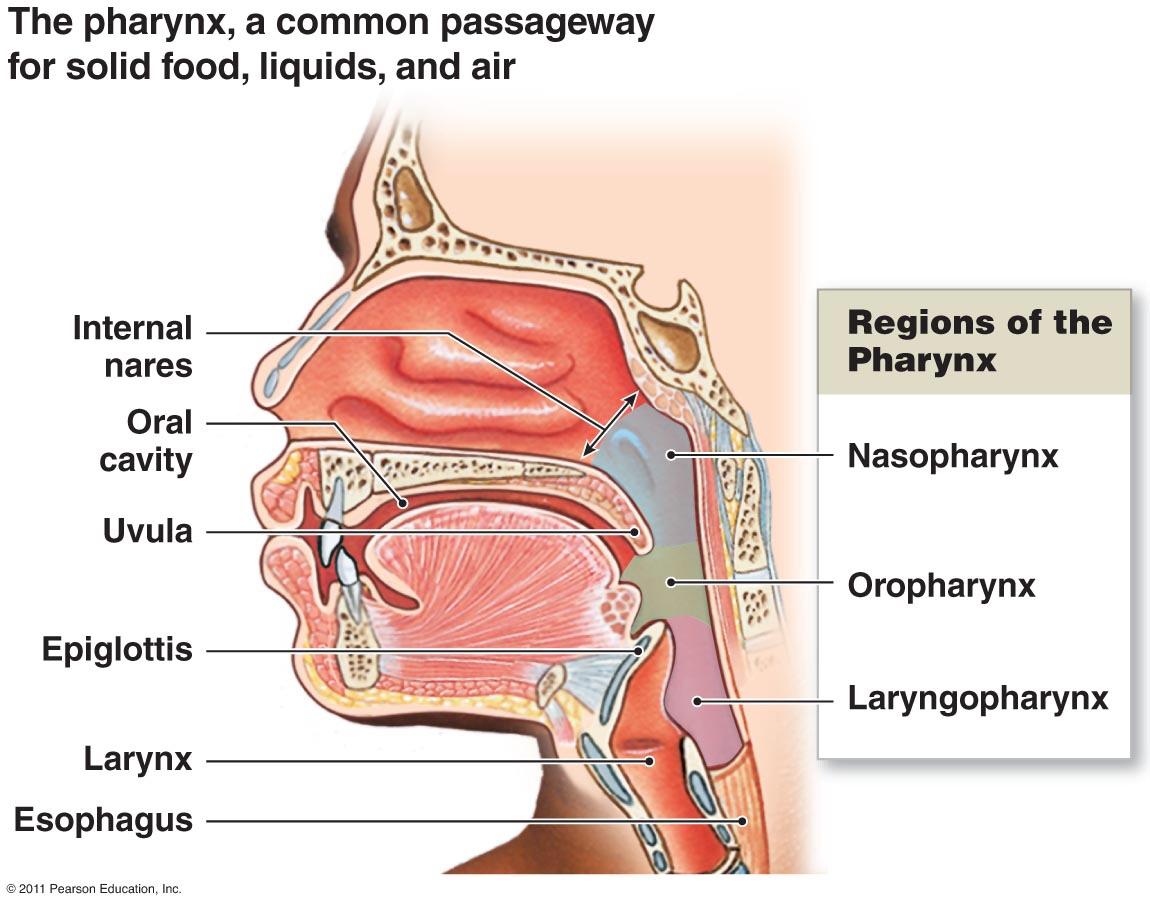 Respiratory System Created By Dominika Burbul