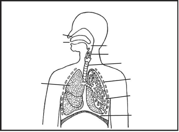 Diagram Of The Respiratory System Worksheet Diagram