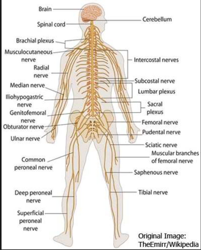 A branch of the common peroneal nerve that passes downwar... - ThingLink