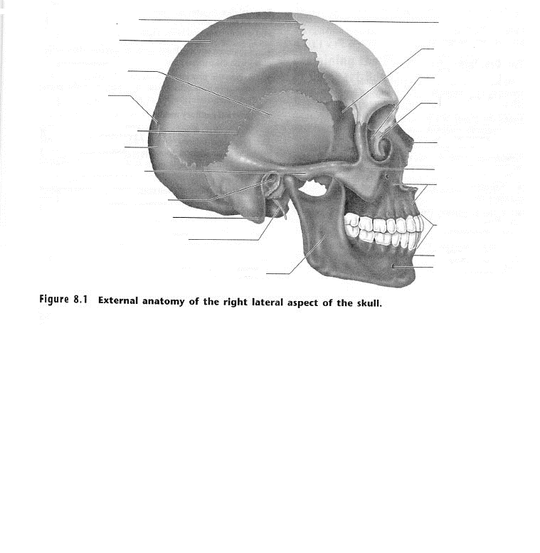 Mandibular Ramus Styloid Process Mastoid Process Exter
