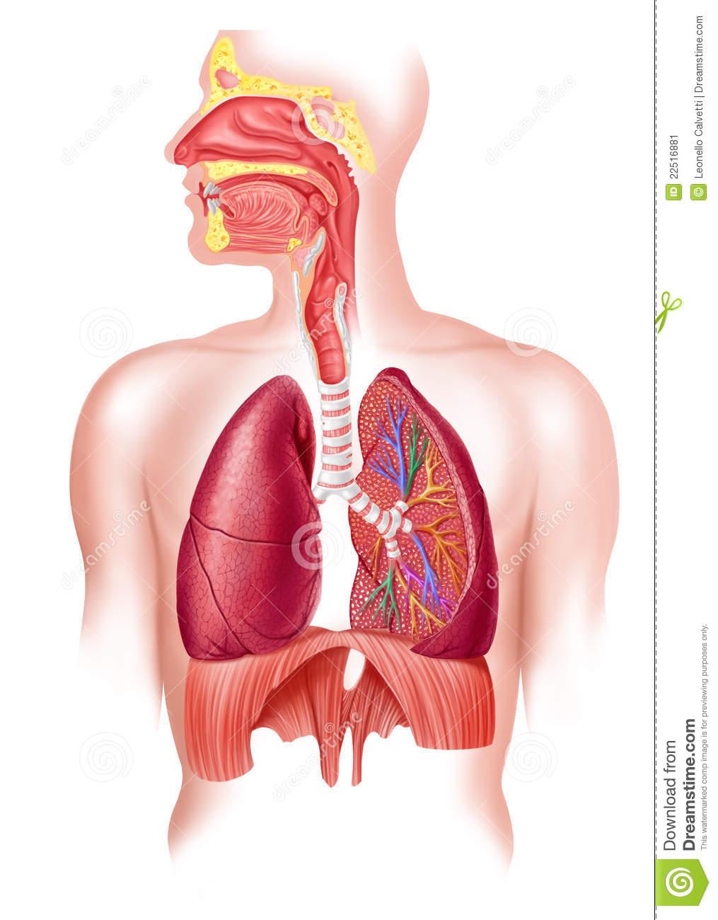 Las fosas nasales son dos cavidades separadas por un tabi...