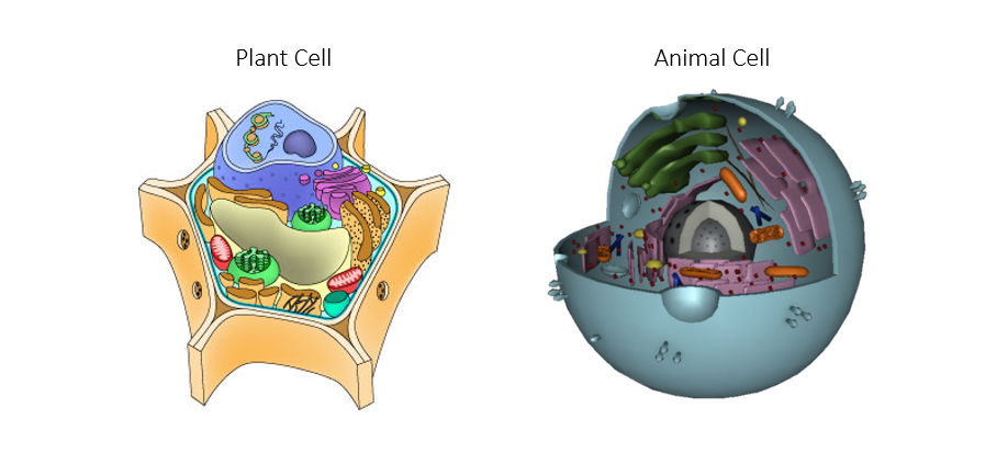 conclusion on plant and animal cell Both animal cells and plant cells have a defined nucleus, which contains chromosomes the nucleus is protected and surrounded by cytoplasm, a watery or however, all animal cells have centrioles whereas only some lower plant forms have it also, plant cells tend to have one large central vacuole.